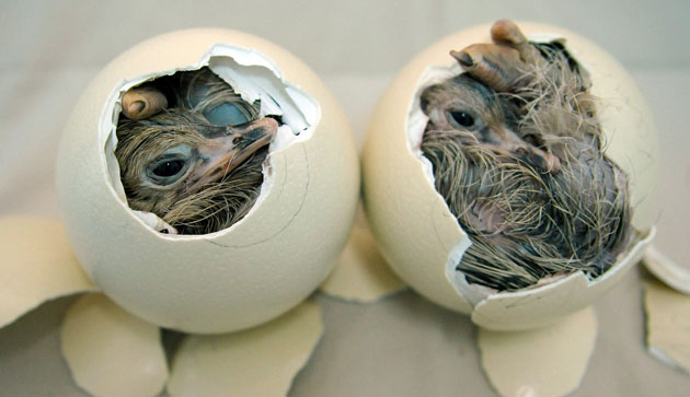 Hatching Ostrich Eggs Forsale by Muhamed Ostrich Farm