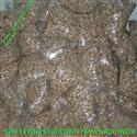 High Quality Moringa Seed Suppliers