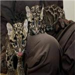 TAME TIGERS,CHEETAHS,FOXES,CHIMPANZEE,LIONS AND LEOPARDS BABIES FOR ADOPTION